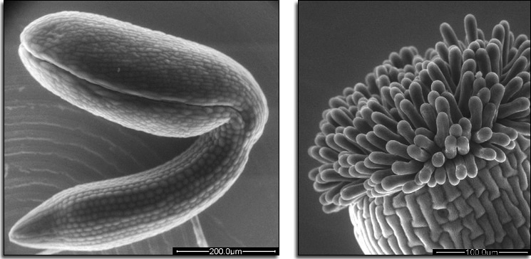 Plant embryo and stigmatic surface as observed using the ESEM