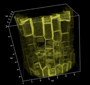 Localization in the Arabidopsis root of the P-type proton ATPase. Image by Miyoshi Haruta, Sussman Lab (Department of Biochemistry).